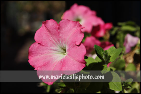 Petunias--last of the season