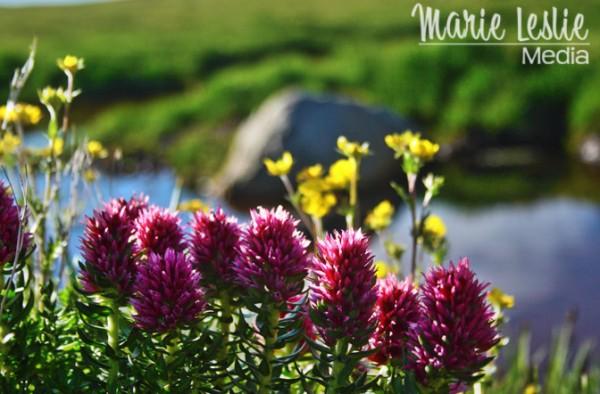 Purple wildflowers on mt. Evans