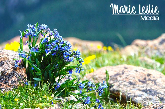 rocky mountain national park, wildflowers