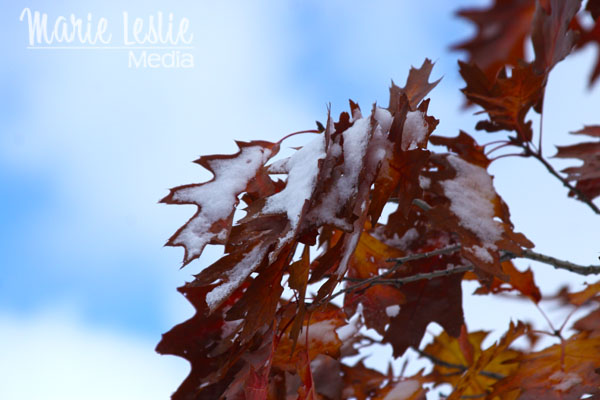 ©Marie Leslie, red maple leaves with snow