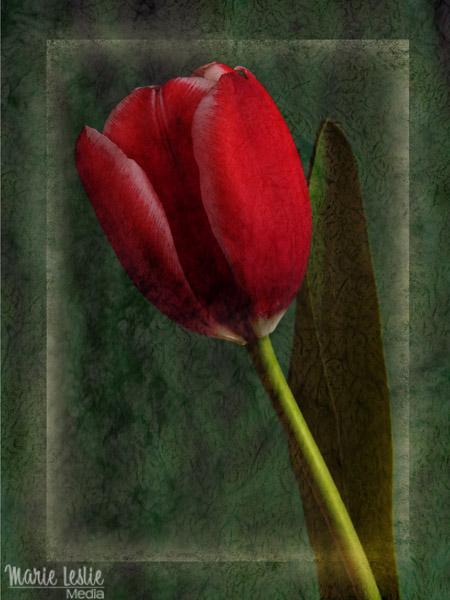 artistic red tulip