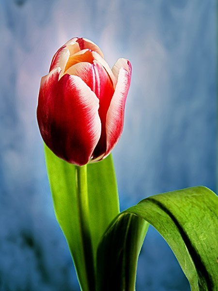 pink tulip on blue background