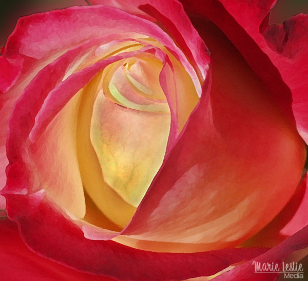 red and yellow rose close up