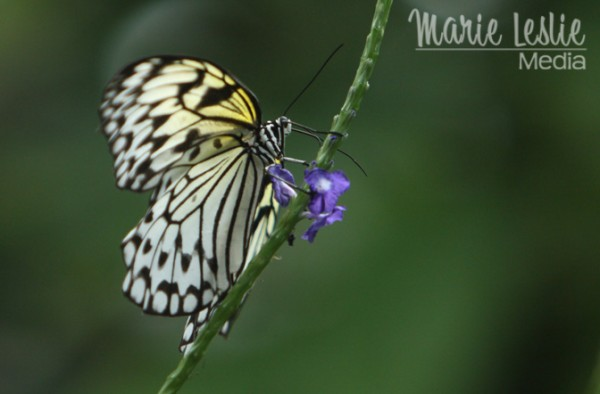 black and white butterfly, colorado photographer