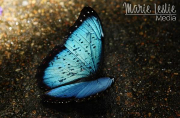 blue butterfly, colorado photographer
