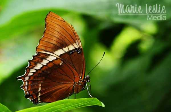 brown butterfly, colorado photographer