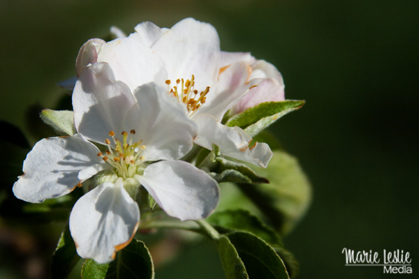 apple blossoms, photography