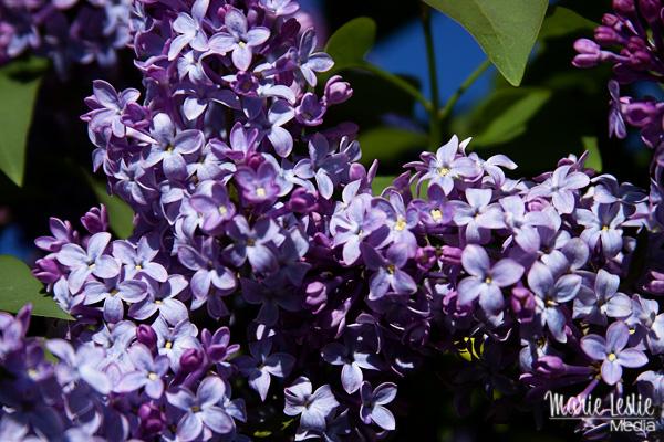 lilacs, photography