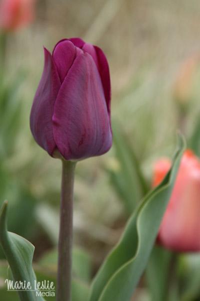 purple tulip, colorado photographer