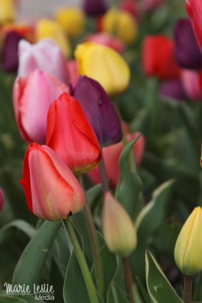 tulips, marie leslie media
