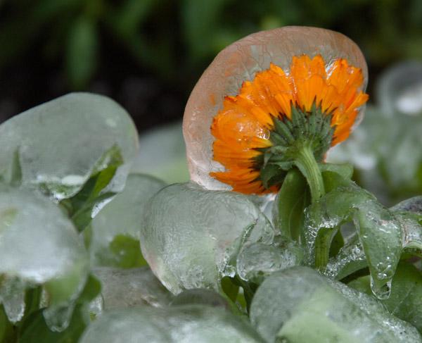 frozen marigold