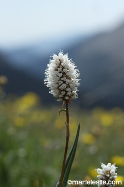 wildflower at rocky mountain national park