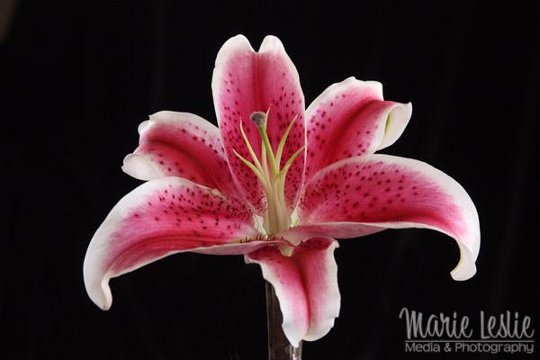flower photography pink daylily