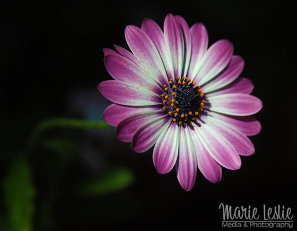flower photography purple daisy