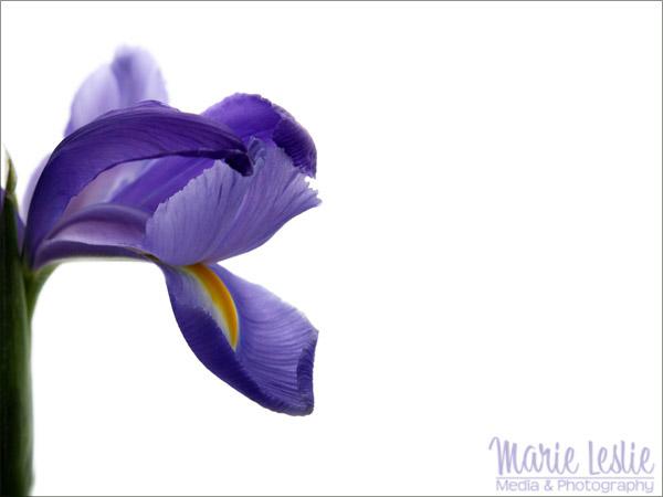flower photography purple iris