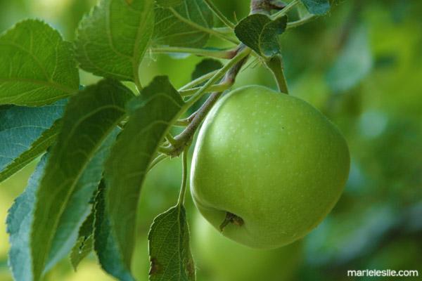 apple tree fabulous food photography