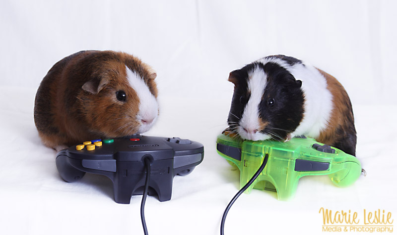 Techniques for Better Pet Photography--photographing guinea pigs