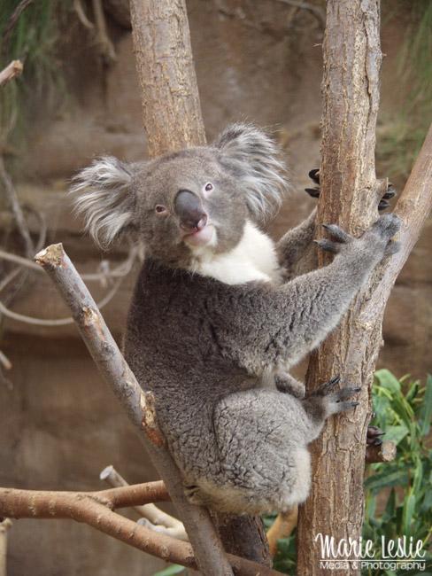 koala take better zoo photos