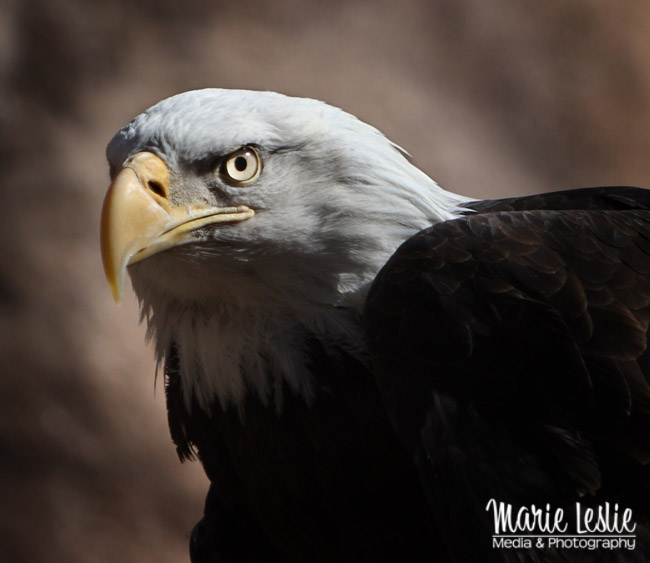 better zoo photography of eagles