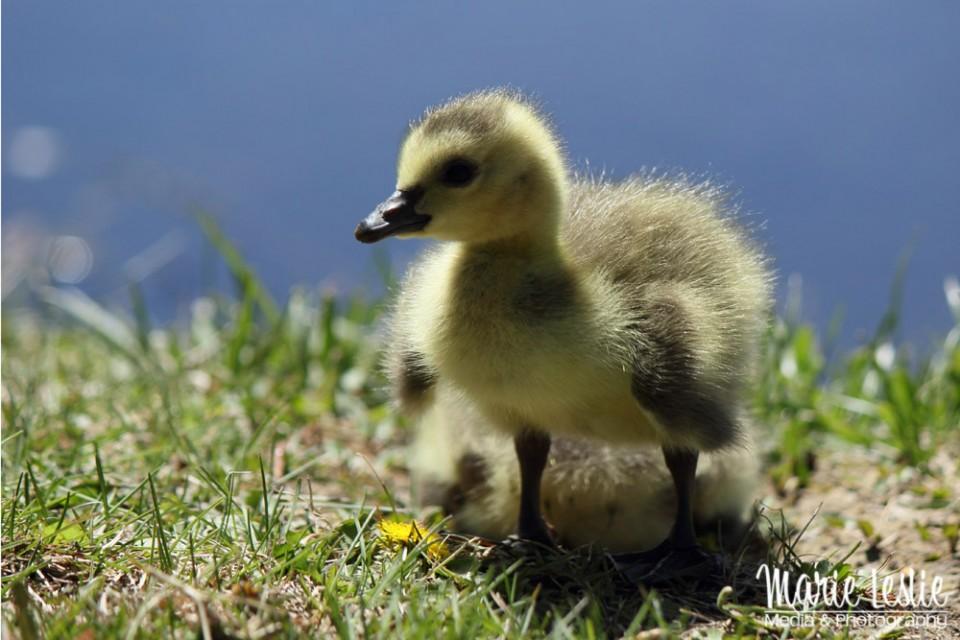 gosling photography
